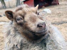 Blind sheep in Jefferson County inspires children's book
