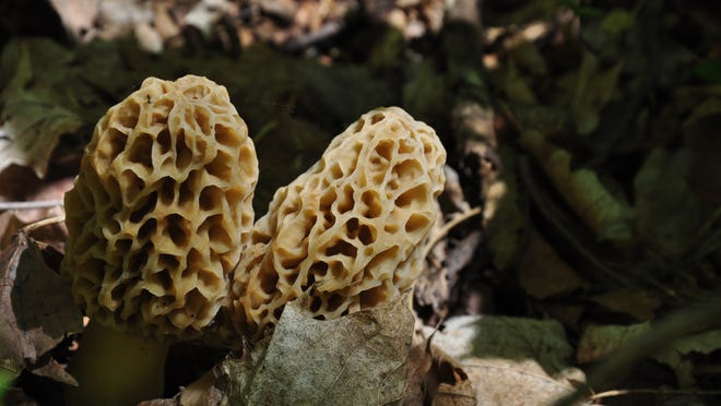 Morels emerge from last year's leaves. In Central Minnesota, foragers are most likely to find yellow morels. Farther north, they're most likely to find black morels.
