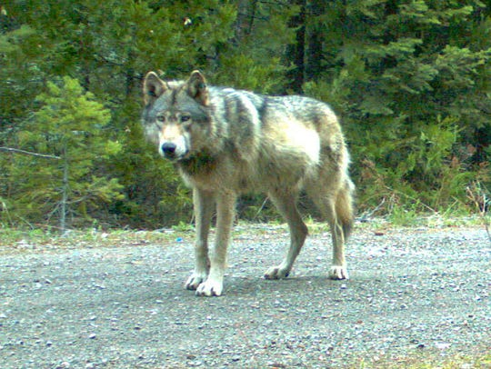 This remote camera photo taken May 3, 2014, and provided by the Oregon Department of Fish and Wildlife shows the wolf OR-7 on the Rogue River-Siskiyou National Forest in southwest Oregon's Cascade Mountains.