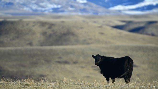 A cow grazes in a pasture near Belt.