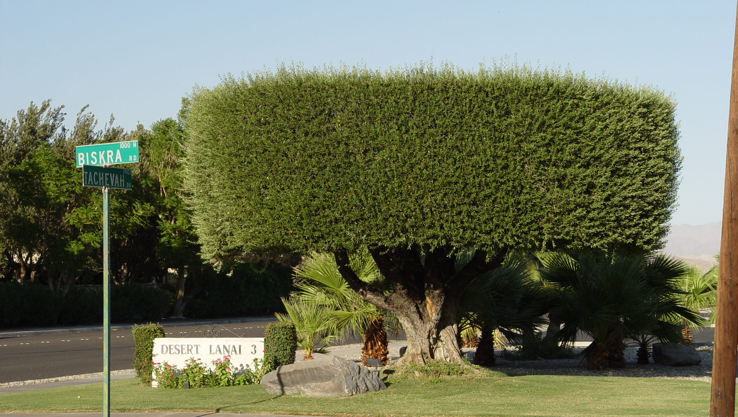 replacing golf courses with olive orchards in palm springs is a bad idea here s why olive orchards in palm springs