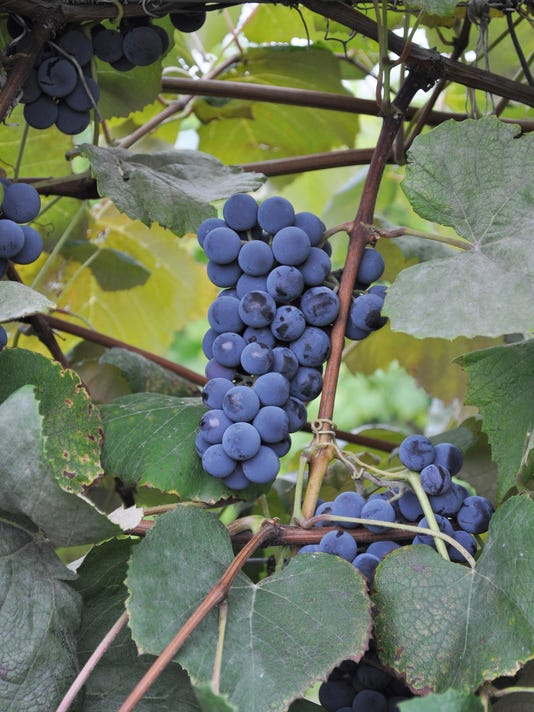 Gardening-Concord Grapes
