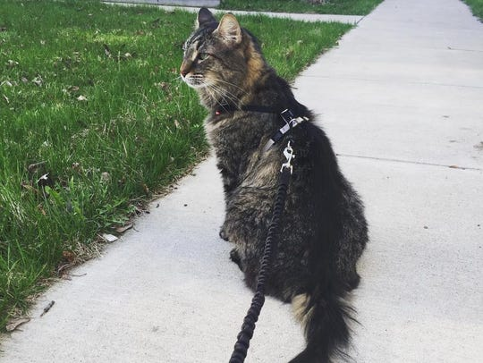 My cat, Jude, enjoying a stroll.