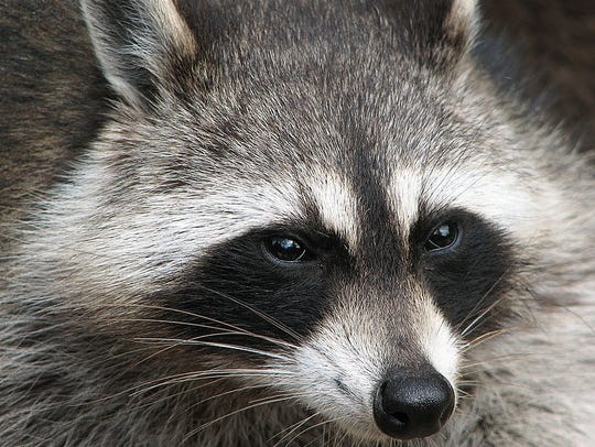 Raccoons are light sleepers through the winter, and