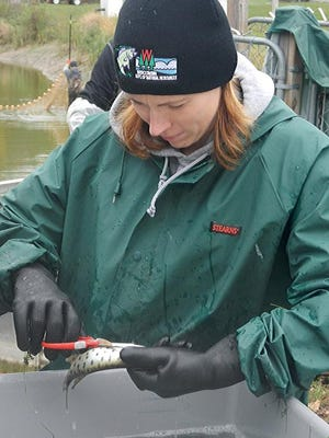 DNR fisheries biologist Tammy Paoli clips the fin of a Great Lakes muskie to identify it as a stocked fish.
