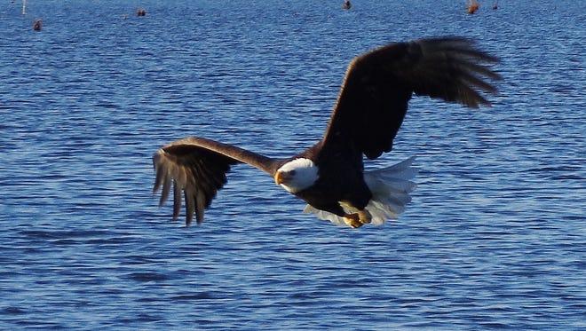 A bald eagle flies over a Jasper County lake.