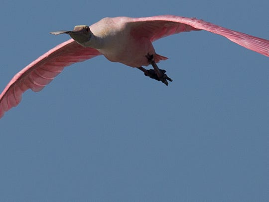 A roseate spoonbill flies over Dog Beach on Wedenesday