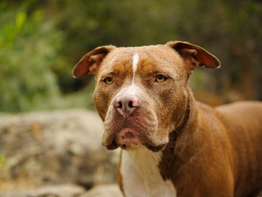 american pit bull terrier wrongfully accused For most of the 114 years since the american pit bull terrier was first  since the  1980s, the media have falsely portrayed the pit bull as a.