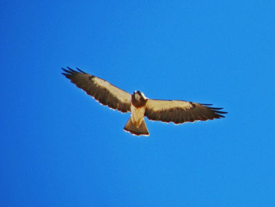 Adult Swainson's hawk with wings spread in full soar.