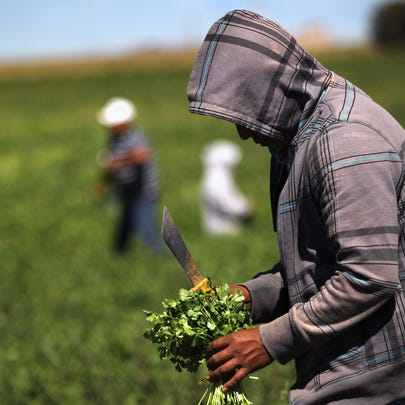 Migrant farm workers from Mexico harvest organic cilantro