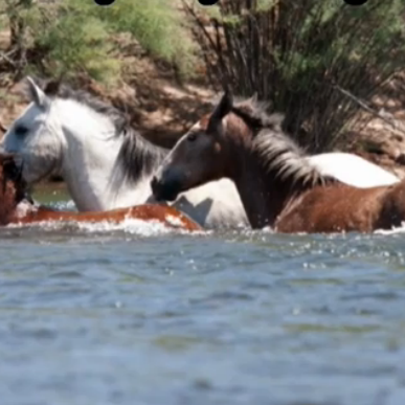 The Salt River wild horses are seen playing in the