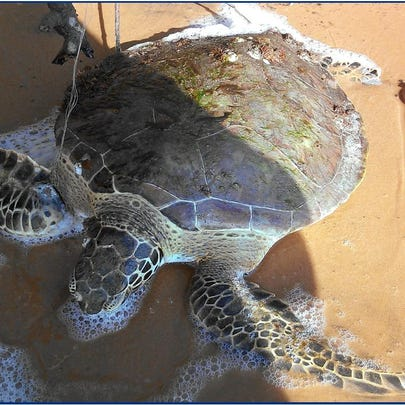 A young sea turtle named Mahi will be released into