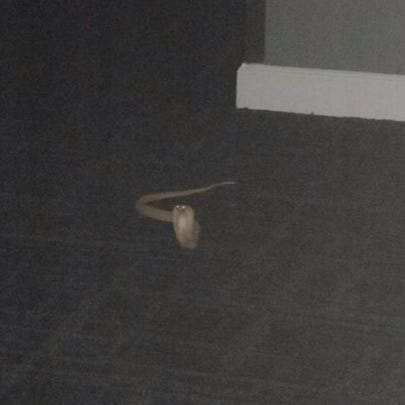 A picture of the cobra from one of the residents at