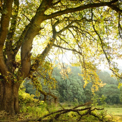 Oak tree and meadow - Generic Image