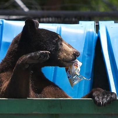 A black bear scavenges for food in a trash bin in Fort