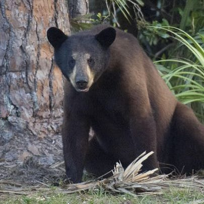 Florida will have its first bear hunt since 1994.