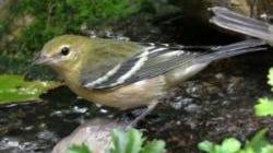 Bay-breasted warbler by Bruce Steger
