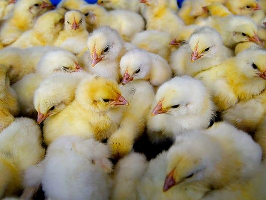 635945172876453283-Chicks.jpg