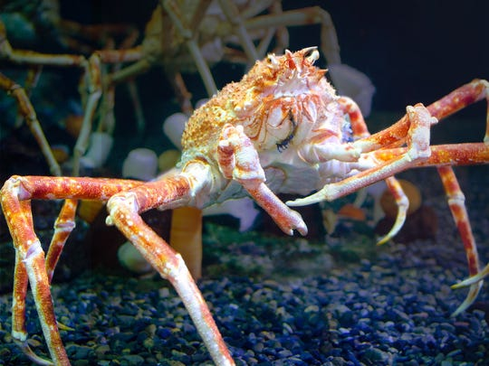 Japanese Spider Crabs  can reach up to 12 feet claw to claw in the wild.