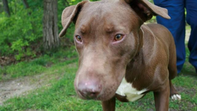 Yoda is a brown-and-white Lab mix, 9 months. He's active and social; afraid of cats, but gets along with dogs. Best in a high-energy home.  Northern Ocean County Animal Facility, Jackson:  732-657-8086