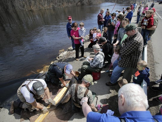 A crowd gathers Monday along the Wolf River Sturgeon Trail as members of the Wisconsin Department of Natural Resources measure and tag sturgeon before sending them back into the river.