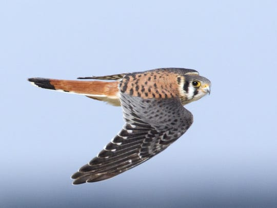 A kestrel zooms along above Delaware Wild Lands property.