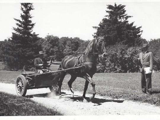 Government performance testing of a 4-year-old Morgan stallion, Mentor 8627, at the trot in harness. Albert McAuley is driving in this 1946 photo.