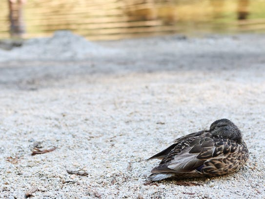 A duck naps at Sentinel Beach in Yosemite National