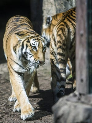 In this Thursday, Sept. 17, 2015 photo, two of four new Amur tigers walk in their enclosure at the Potawatomi Zoo in South Bend, Ind. Potawatomi Zoo curator Josh Sisk says the four new tigers are sisters and were born two years ago in Columbus, Ohio. (Robert Franklin/South Bend Tribune via AP) MANDATORY CREDIT