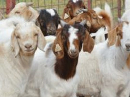 Texas A&M AgriLife will seek sheep and goat producer