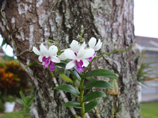 An orchid grows up a tree in Holly Smith's East Naples backyard.