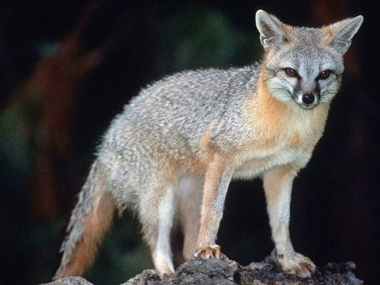 The typical grey fox has a grizzled, ashy back and sides with red at the throat and red separating its white belly from its gray sides.