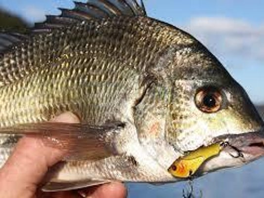 bream with lure