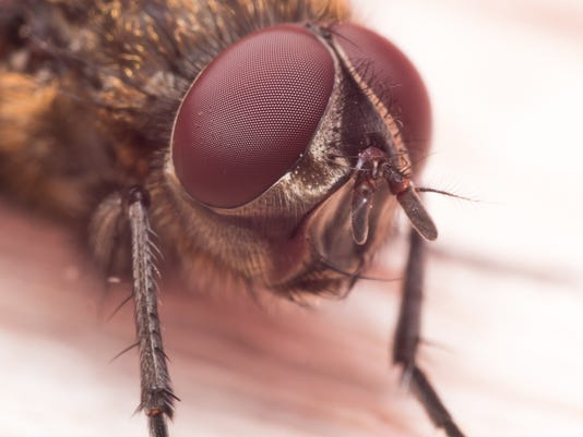 Extreme Close up Portrait of Brown House Fly