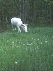082851-albino-deer