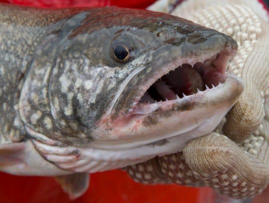 636208555959619422-fishfraud-trout.1.jpg