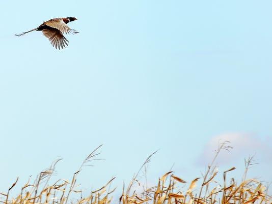 Pheasant Opener