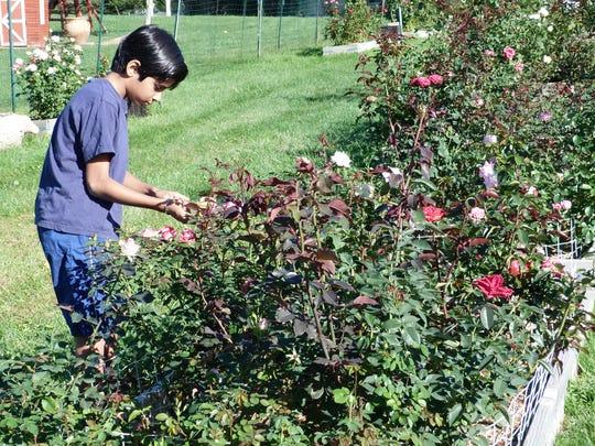 Adam Bolar tending to his rose bed in his garden in