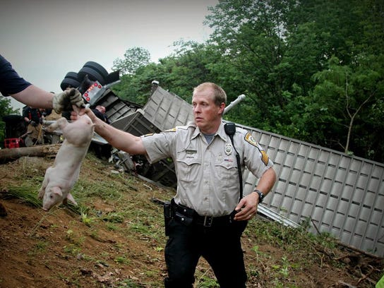 An officer passes off a pig after a semitrailer overturned