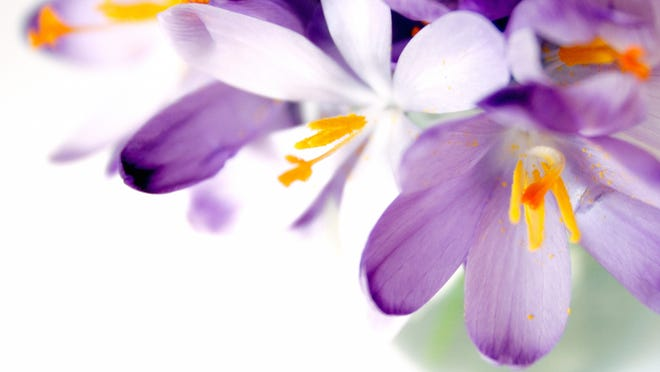 a bouquet of blue sring crocus in a vase on white background. copyspace.