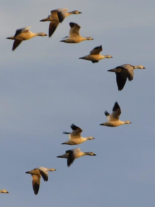 636525069318088757-Snow-geese.jpg