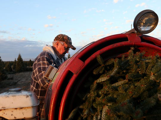 Ken Trzebiatowski, an employee, waits to be fed a Christmas tree through the baler at the Wolosek Christmas Tree Farm south of Wisconsin Rapids, Wednesday, November 16, 2016.