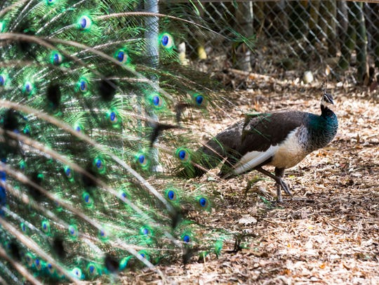 Priscilla the peahen walks around the pen as Picasso