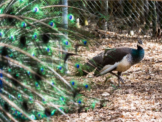 Priscilla the peahen walks around the pen as Picasso the peacock displays his long train of emerald and cobalt quill feathers at the Wonder GardensÊin downtown Bonita Springs on Tuesday, May 23, 2017. A new peahen was recently brought on as a potential new mate for Picasso.