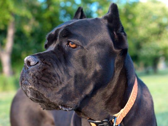 Italian Corso Dog Breed