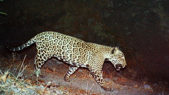 """The only known wild jaguar living in the United States resides just outside of Tucson is named """"El Jefe."""" That's Spanish for """"The Boss."""""""