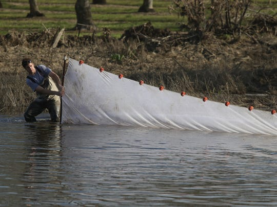 Ryan Revnak, a fishery biologist with Pacific States Marine Fisheries Commission, drags a net Tuesday through Antelope Slough in Red Bluff. He and others were rescuing fish stranded in pools left as the Sacramento River receded from high flows.