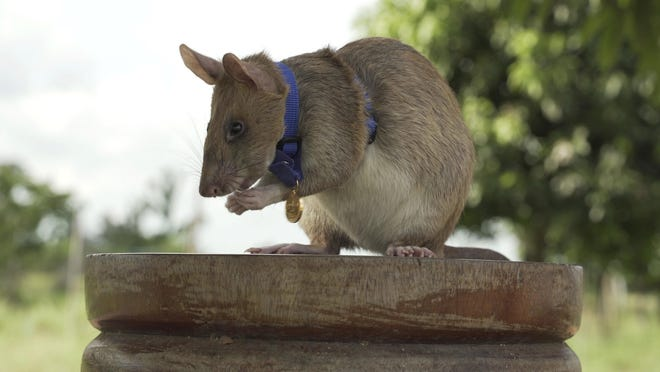 "In this undated photo issued by the PDSA, People's Dispensary for Sick Animals, Cambodian landmine detection rat, Magawa is photographed wearing his PDSA Gold Medal, the animal equivalent of the George Cross, in Siem, Cambodia. A British animal charity has on Friday, Sept. 25, 2020, for the first time awarded its top civilian honor to a rat, recognizing the rodent for his ""lifesaving bravery and devotion"" in searching out unexploded landmines in Cambodia."