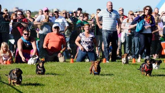 Dogs race to the finish in a heat race at the Dakota Dachshund Rescue Wiener Dog Races at Germanfest Saturday, Sept 6, 2014.