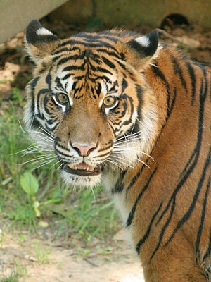 File picture: A Sumatran tiger is seen in 2008 at the National Zoo In Washington.